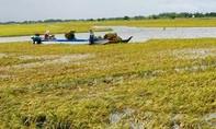 ĐBSCL: Lũ sớm, hàng trăm héc-ta lúa chìm trong nước