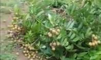 Vườn nhãn trĩu quả bị kẻ gian phá sạch sau một đêm