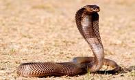 Cháu bé 7 tuổi mồ côi cha mẹ bị rắn độc cắn suýt chết