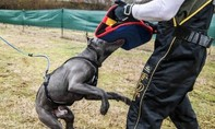 Chó pitpull vừa nuôi được hai tuần cắn chết chủ nhân