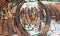 Thu giữ hơn 500kg ngà voi, vảy tê tê nhập lậu