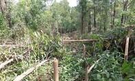 Hơn 4.000 cây keo của người dân Quảng Nam bị phá hoại