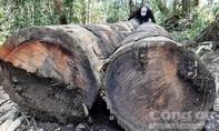 """Vụ """"xẻ thịt"""" rừng Măng Đen: Phó giám đốc lâm trường bị đình chỉ"""