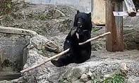 Clip chú gấu xoay gậy điêu luyện như võ sĩ kungfu