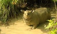 Chú tê giác Sumatra cuối cùng ở Malaysia qua đời vì ung thư
