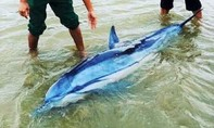 Cứu con cá heo lớn dạt vào bờ, đưa trở lại biển