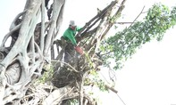 Sa Đéc quyết tâm bảo tồn, gìn giữ cây da trăm tuổi