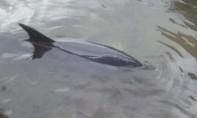 Giải cứu chú cá heo nặng mắc cạn trên bờ biển