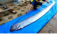 Cá mái chèo dạt vào bờ, dân Nhật hoang mang sợ động đất