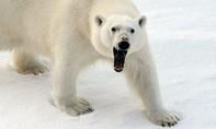 Sống trong sợ hãi khi bị hơn 50 con gấu trắng 'quấy rối'