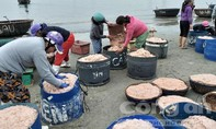 Trúng mùa ruốc đầu năm, ngư dân kiếm tiền triệu mỗi ngày