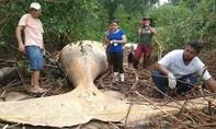 Bất ngờ khi phát hiện cá voi lưng gù chết trên bờ sông Amazon