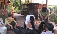 Bốn cá thể gấu ngựa trọng lượng hơn 130 kg chết bất thường