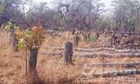 Cục Kiểm lâm kiểm tra vụ phá 7,5 héc-ta rừng ở Gia Lai