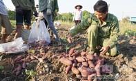 """Thương lái """"bỏ chạy"""", tìm cách giải cứu 14.000 tấn khoai lang"""