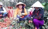 Nông dân phấn khởi vì chôm chôm nghịch vụ giá cao