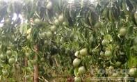 Vườn chanh dây tiền tỷ sắp thu hoạch bị chặt phá