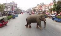 Clip voi hoang dã đi lạc, gây náo loạn trong thành phố