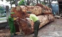 Nhóm đối tượng vào rừng Nam Cát Tiên cưa cây gỗ đường kính cả mét