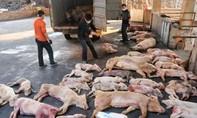 Tả lợn châu Phi có thể lây truyền sang mèo, gà, vịt