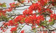 Hoa phượng khoe sắc sớm