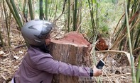 """Gỗ """"khủng"""" bị khai thác hàng loạt giữa 2 trạm bảo vệ rừng"""