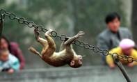 Nhà khoa học tạo ra những con khỉ phát triển bộ não như người