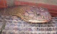 Sẽ tịch thu 2 con rắn hổ mây nặng 60kg?