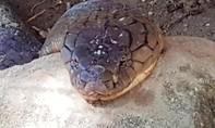 Cặp rắn hổ mây bắt được ở núi Cấm đang ốm đi?