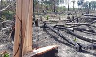 Chùm ảnh rừng biên giới Gia Lai bị khai thác