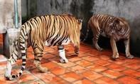 Một người đàn ông bị hổ nuôi tấn công nguy kịch