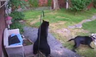 Clip chú chó dũng cảm xua đuổi gấu dữ đi lạc vào vườn nhà