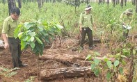 Lâm Đồng: Lại phát hiện 2 vụ phá rừng thông quy mô lớn với thủ đoạn tinh vi