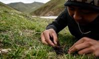 Hành trình khắc nghiệt tìm đông trùng hạ thảo trên nóc nhà thế giới