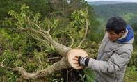 Bắt 11 đối tượng chặt phá rừng chỉ cách trung tâm Đà Lạt 5 km