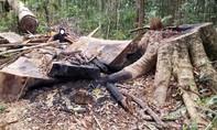 Phát hiện vụ khai thác, tập kết gỗ lớn tại vùng rừng giáp ranh