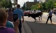 Clip cao bồi 'cưỡi ngựa, quăng thừng' bắt bò xổng chuồng trên đường phố Mỹ