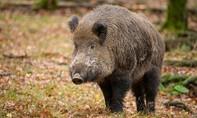 Hy hữu con trai bắn nhầm cha vì tưởng là... lợn rừng