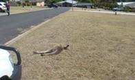 Úc điều tra vụ 20 con chuột túi bị thảm sát trong vụ tông xe
