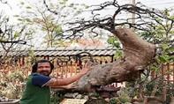 Cận cảnh cây mai vàng Yên Tử được định giá triệu đô