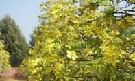 Ngày đầu xuân đến chiêm ngưỡng vườn mai cổ thụ trổ hoa rực rỡ