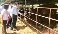 Bàn giao đàn bò tót lai quý hiếm cho Vườn quốc gia Phước Bình