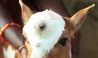 Clip con bê có 3 mắt được tôn thờ ở Ấn Độ