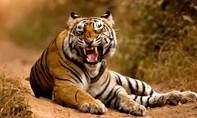 Ấn Độ truy lùng hổ dữ giết chết 8 người