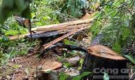 Vụ phá rừng gần 2 trạm bảo vệ: Phát hiện thêm rừng Kông Chro bị phá