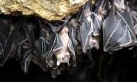 Tìm thấy chuẩn nCoV mới trong những con dơi sống trong hang động ở Nhật