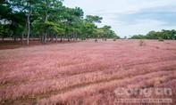 Người dân nói gì khi đề xuất rừng thông, đồi cỏ hồng làm sân golf?