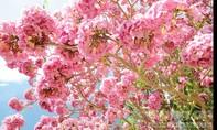 Cận cảnh con đường hoa kèn hồng đẹp như cổ tích