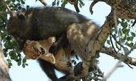 Video khỉ đực âu yếm, chăm sóc sư tử non như con đẻ
