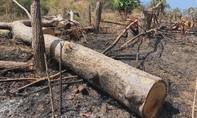 Rừng ở Đắk Lắk tiếp tục bị tàn phá nghiêm trọng